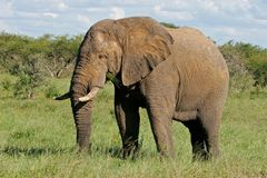 Free African Bull Elephant Stock Photography - 25928112