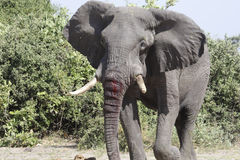African Bull Elephant bloodied from a fight with another elephant. African Bull Elephant bloodied from a fight with another elephant for dominance royalty free stock image