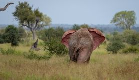 African bull elephant flapping its ears in the bush at Kruger National Park, South Africa. African bull elephant flapping its ears in the bush at Kruger royalty free stock image