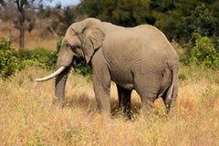 African bull elephant - Kruger National Park. Large African bull elephant Loxodonta africana, Kruger National Park, South Africa royalty free stock images