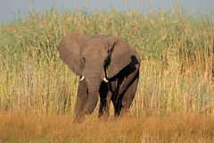 African bull elephant Stock Photography