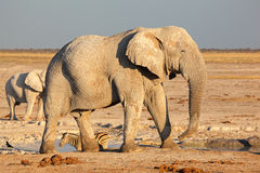 African bull elephant Royalty Free Stock Image
