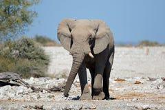 African bull elephant Royalty Free Stock Photos