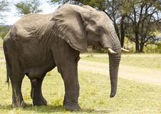 African Bull Elephant royalty free stock photography