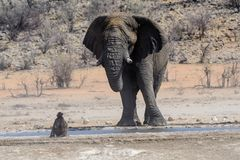 African bull elephant looking at a baboon. African bull elephant eyeing at a baboon at the waterhole with curiosity or is it disdain stock photo