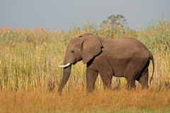 African bull elephant, Namibia Stock Photography