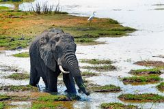African Bull Elephant standing in a shallow lagoon with trunk extended and a cattle egret in the background, south luangwa Stock Images