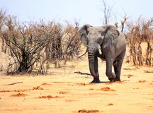 Large Bull elephant walking from the bush, Hwange National Park. African Bull Elephant walking out of the dry bush onto the dry dusty plains in Hwange National royalty free stock photo