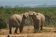 African bull elephants Royalty Free Stock Photos