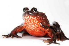 African bull frog Stock Images