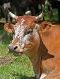 African bull resting Stock Image