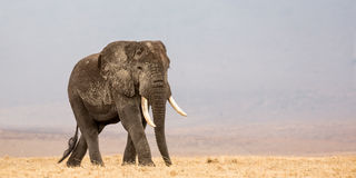 African bull walking Stock Photography