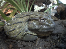 African Bullfrog Royalty Free Stock Photo