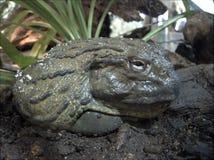 African Bullfrog. Portrait of giant African bullfrog outdoors royalty free stock photo