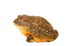 African Bullfrog. An image of a captive African Bullfrog over white Royalty Free Stock Image