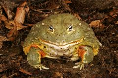 African Bullfrog. Or Pixie Frog (Pyxicephalus adsperus). One of the worlds largest frogs. Can give painful bite (harmless) if fingers are moved in close Stock Photos