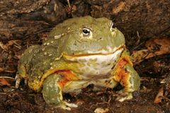 African Bullfrog. Or Pixie Frog (Pyxicephalus adsperus). One of the worlds largest frogs. Can give painful bite (harmless) if fingers are moved in close Royalty Free Stock Images