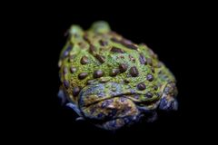 The African bullfrog on black. The African bullfrog, Pyxicephalus adspersus, on black background royalty free stock photo