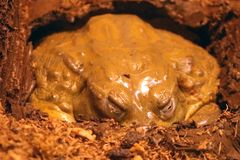 African Bullfrog stock image