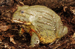 African Bullfrog. Closeup portrait of a African Bullfrog also called a Pixie Frog royalty free stock photo