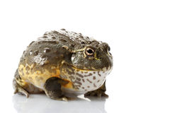 African Bullfrog/Pixie Frog royalty free stock photo