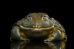African bullfrog Pyxicephalus adspersus Frog isolated on Black Background. With reflection, Front view stock photo