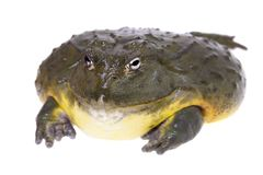 The African bullfrog, adult male on white. The African bullfrog, Pyxicephalus adspersus, isolated on white background stock photos