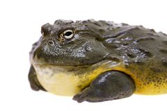 The African bullfrog, adult male on white. The African bullfrog, Pyxicephalus adspersus, isolated on white background royalty free stock photos
