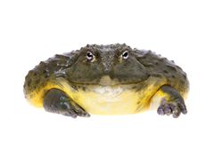 The African bullfrog, adult male on white. The African bullfrog, Pyxicephalus adspersus, isolated on white background stock image