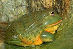 African bullfrog. (Pyxicephalus adspersus) in south Africa stock photography