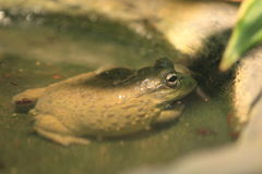 African bullfrog Royalty Free Stock Photos