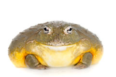 The African bullfrog on white. The African bullfrog, Pyxicephalus adspersus, on white background stock image