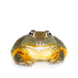 The African bullfrog on white. The African bullfrog, Pyxicephalus adspersus, on white background stock photo