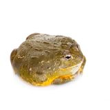 The African bullfrog on white. The African bullfrog, Pyxicephalus adspersus, isolated on white background royalty free stock photos