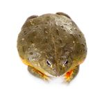The African bullfrog on white. The African bullfrog, Pyxicephalus adspersus, isolated on white background royalty free stock images