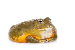 The African bullfrog on white. The African bullfrog, Pyxicephalus adspersus, isolated on white background stock image