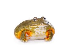 The African bullfrog on white Stock Images