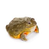 The African bullfrog on white. The African bullfrog, Pyxicephalus adspersus, isolated on white background royalty free stock image