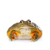 The African bullfrog on white. The African bullfrog, Pyxicephalus adspersus, isolated on white background stock images