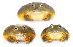The African bullfrog on white Royalty Free Stock Image