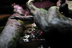 African Bullfrogs Royalty Free Stock Images