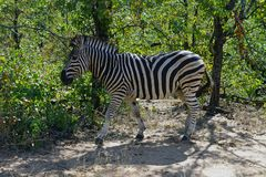 African Burchell Zebra in the wilderness alone royalty free stock image