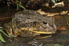 African Burrowing Frog Stock Photos