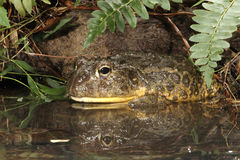 African Burrowing Frog Royalty Free Stock Image