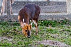 African Bush buck antelope. Close up Royalty Free Stock Photo