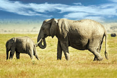 African Bush Elephant. African elephants, female and youngster, in long grass of Masai Mara, Kenya Royalty Free Stock Photography