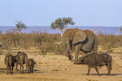 African bush and elephant and african buffalo in Kruger National Stock Photo