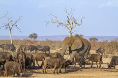 African bush and elephant and african buffalo in Kruger National Royalty Free Stock Images