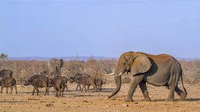 African bush and elephant and african buffalo in Kruger National Stock Photos