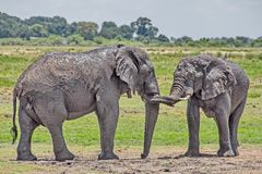 African bush elephant, also known as the African savanna elephant and the largest living terrestrial animal. African bush elephant Loxodonta africana, also stock photography